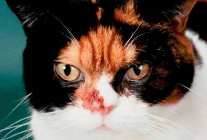 cancer bucal en gatos
