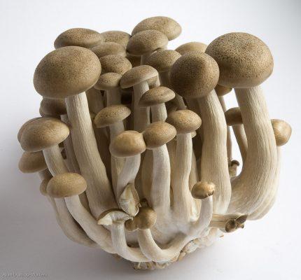 ciuperci enoki paraziții albume