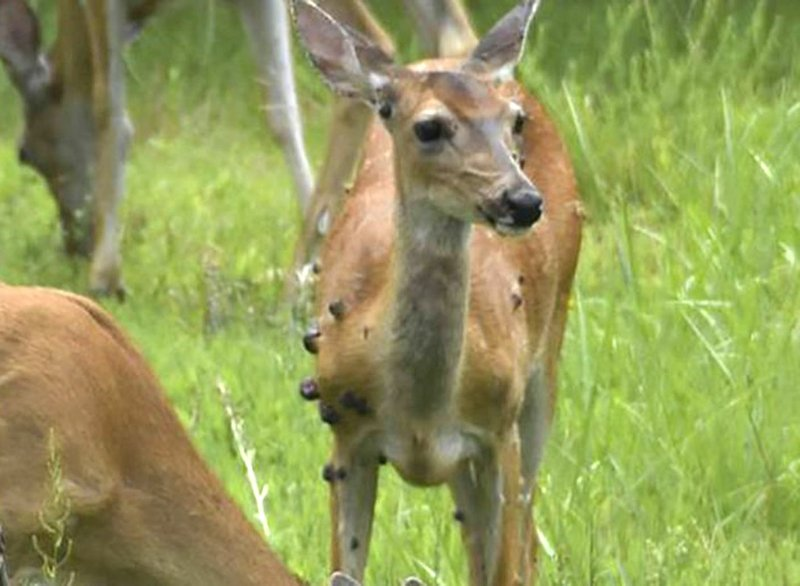 warts on a deer