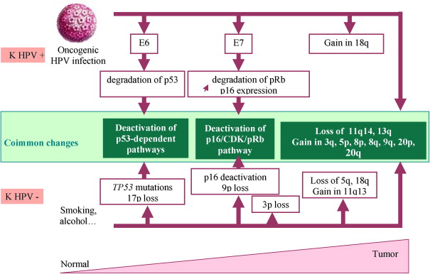 papillomavirus humains oncogenes