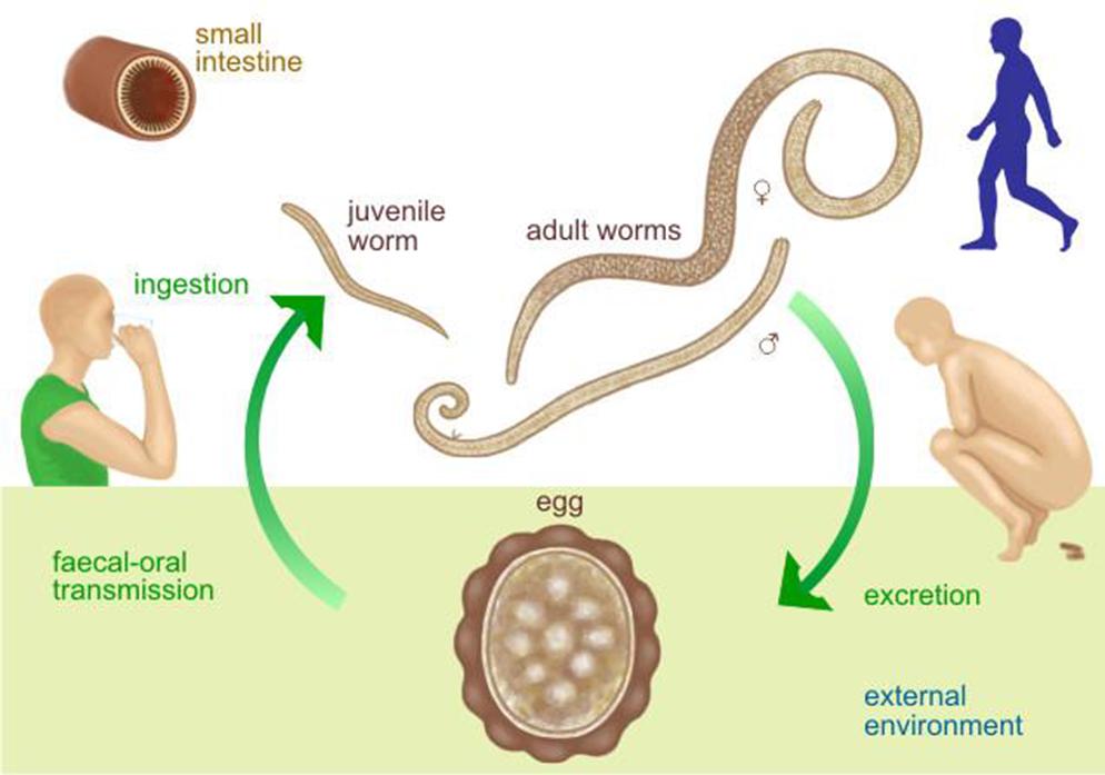 enterobius vermicularis zdravljenje nasal papilloma recurrence