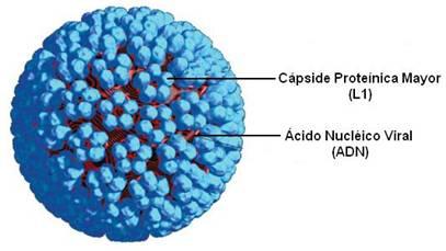 virus de papiloma humano morfologia human papillomavirus verruca