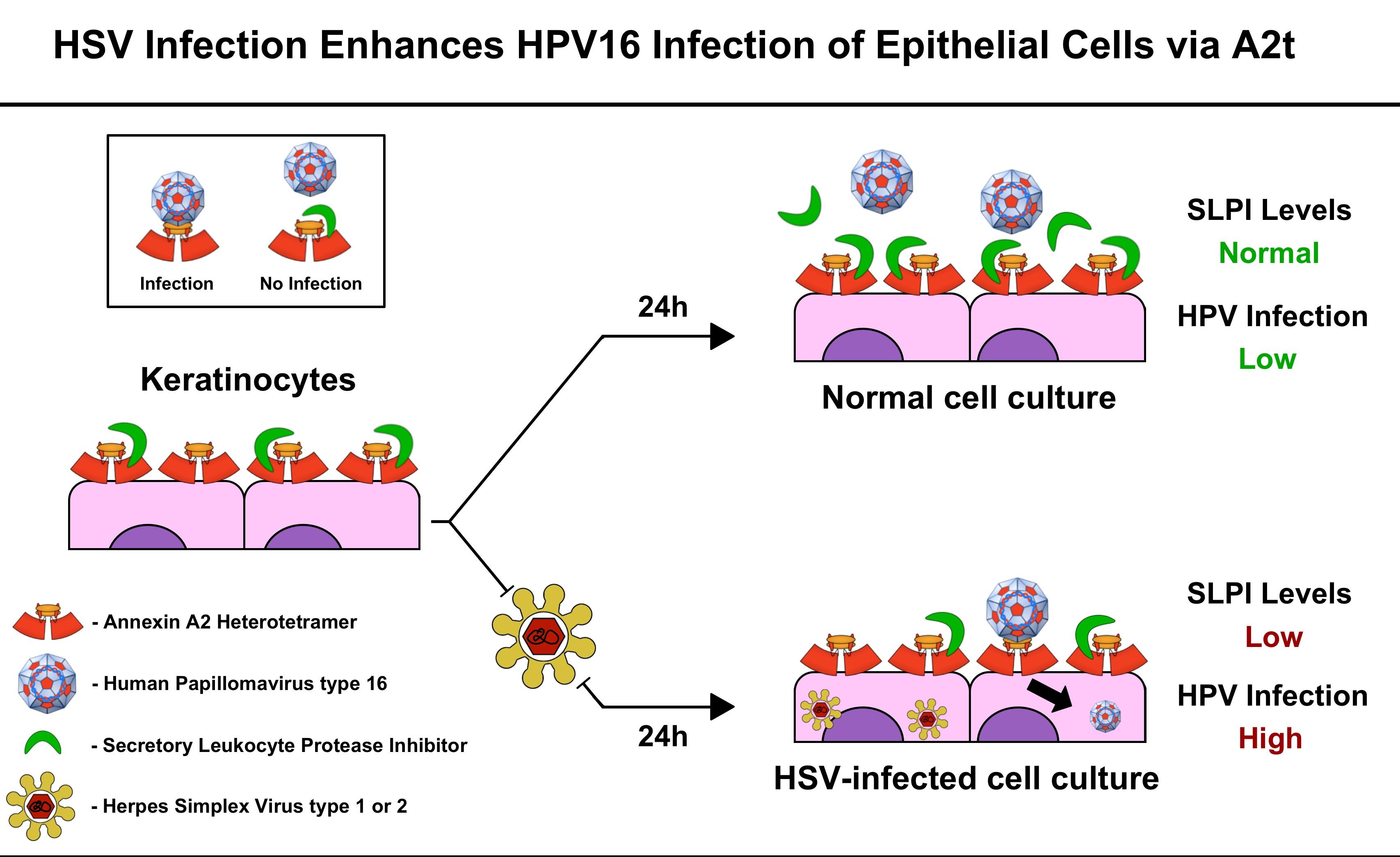 hpv herpes type 1 cancer la ochi tratament