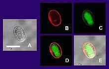 anthelmintic drugs pharmacodynamics hpv cure development