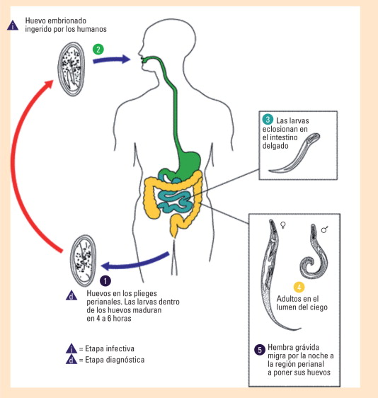 oxiuriasis of enterobiasis papillomavirus hpv