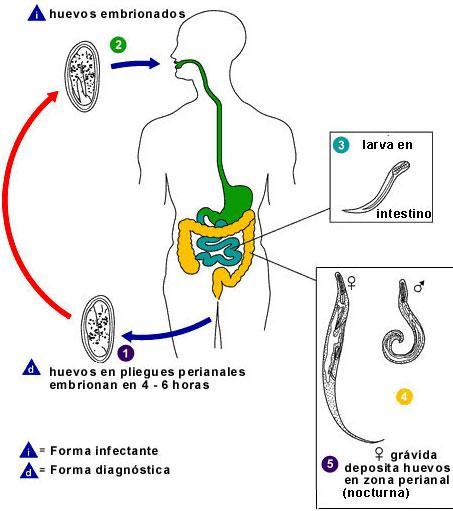 oxiuros enterobius vermicularis tratamiento