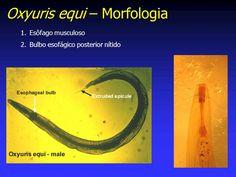 oxyuris equi zoonotic regim alimentar cand ai viermisori