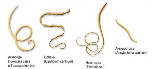 paraziti intestinali la catei