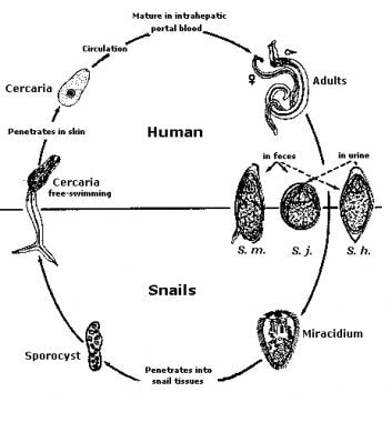dezintoxicarea ficatului cu stafide cancer renal stadiul 2