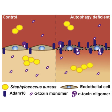 staphylococcus hyicus toxine
