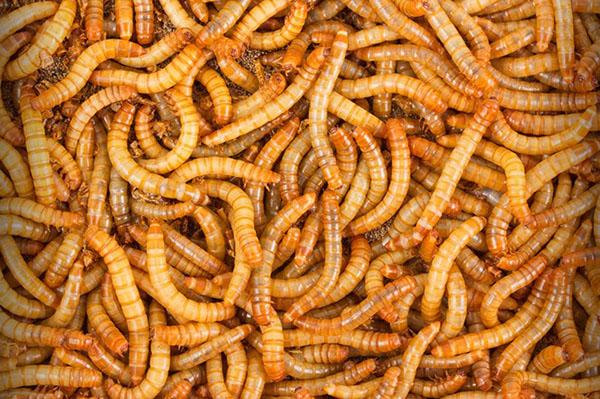 viermi vii paraziti intestinali la sugari